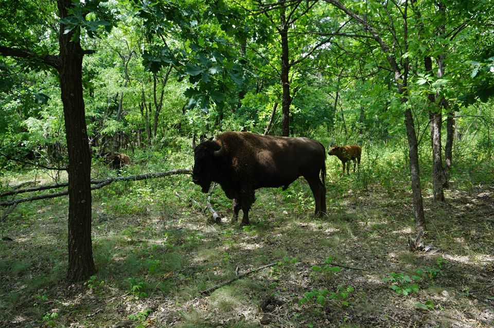 бизоны с донецкого кряжа
