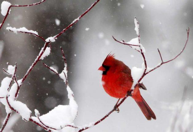 Кардинал в снегу