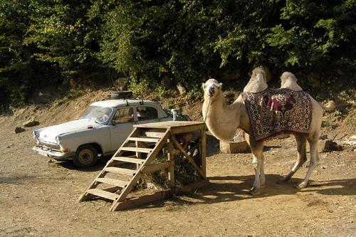 Верблюд и Волга