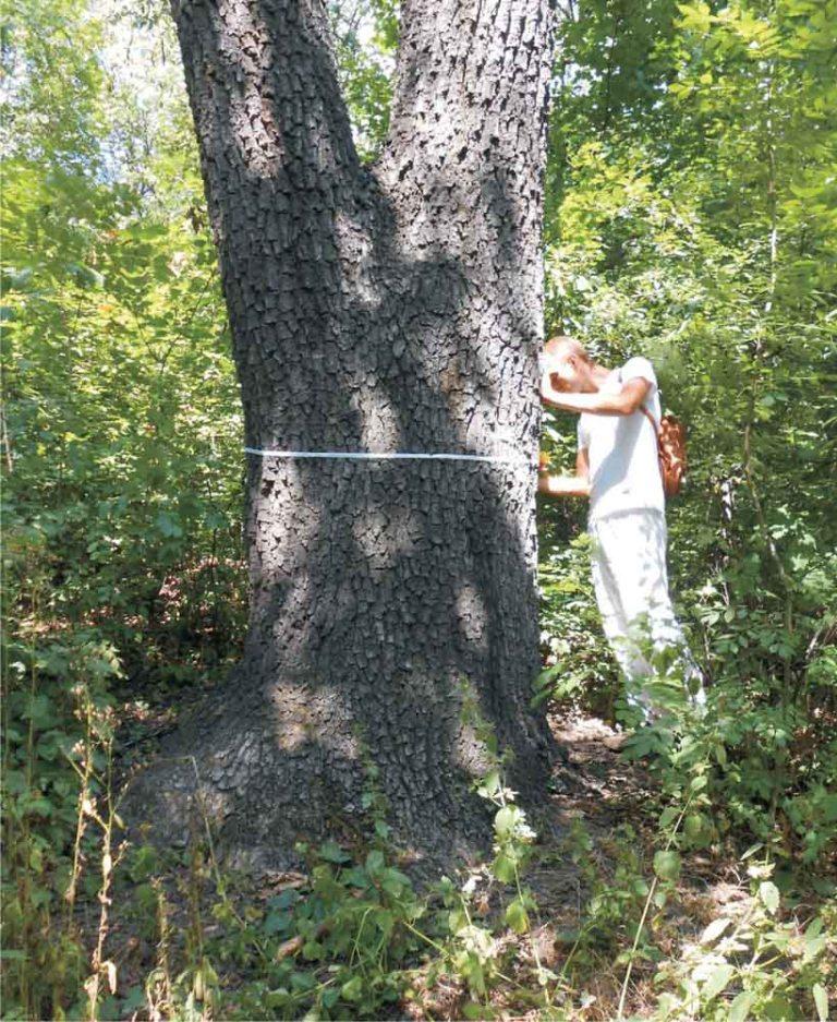 Один из самых старых дубов в Путиловском лесу (приблизительный возраст 200 лет).  Роман Кишкань