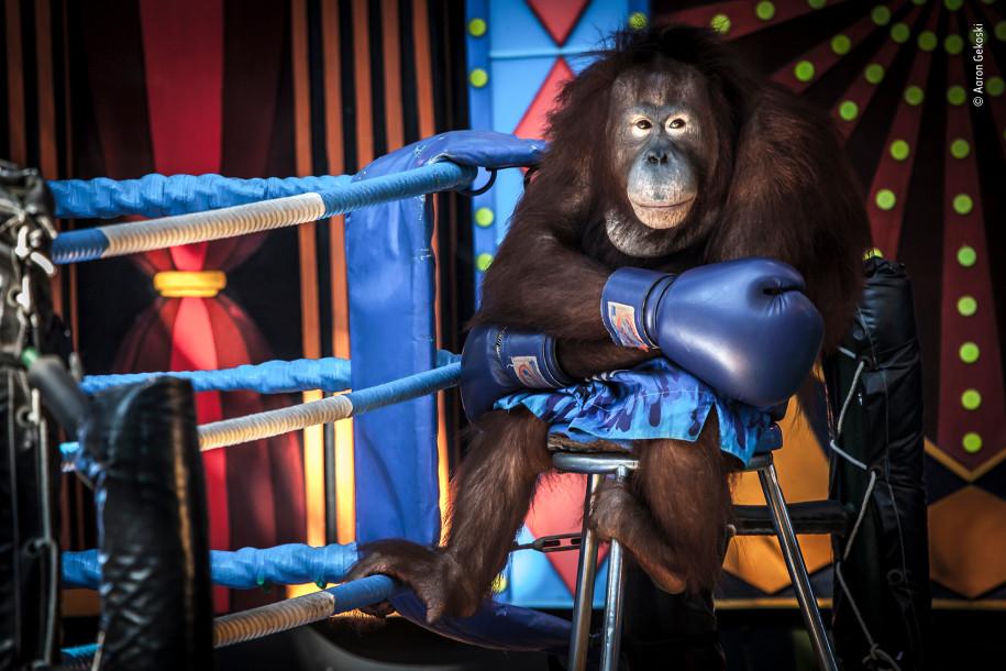 Лучшие фото природы орангутанг