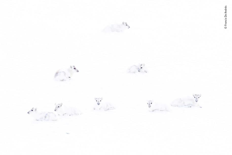 Лучшие фото природы северный олень зимой