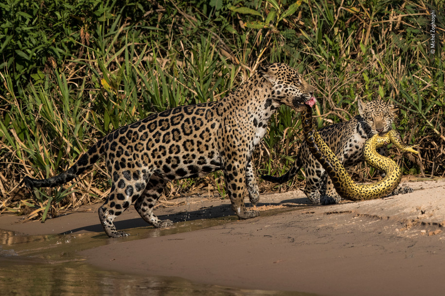 Лучшие фото природы ягуары и анаконда