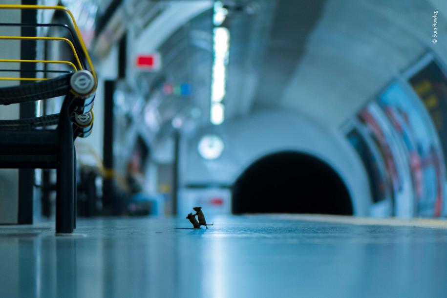 Лучшие фото природы мыши дерутся в метро