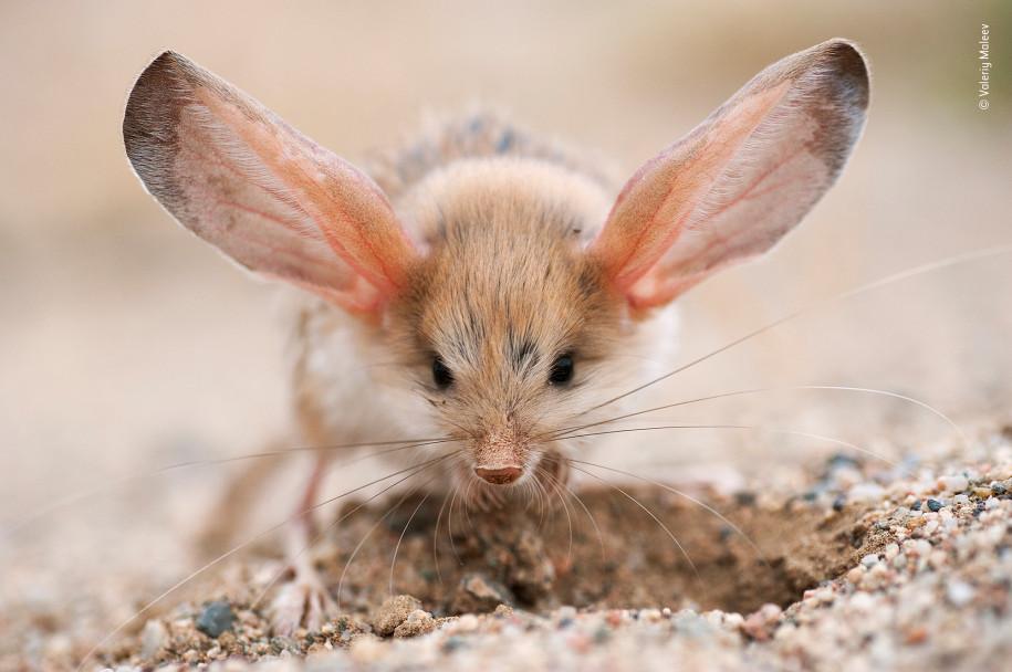 Лучшие фото природы тушканчик в пустыне Гоби